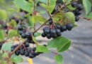 Snaps med Aronia